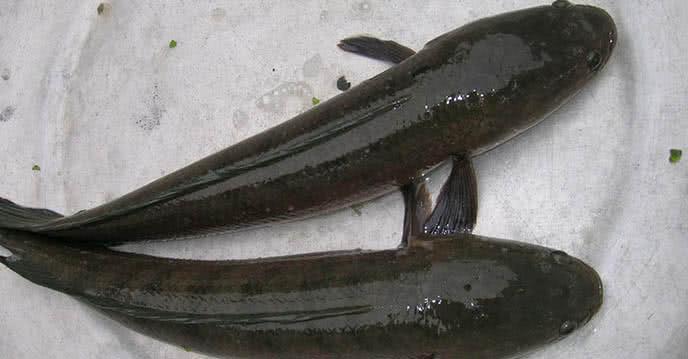 Hướng dẫn cách thông cống bằng cá lóc chỉ trong vài phút